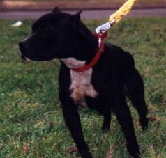 GrandChamp - American Pitbull Terrier History