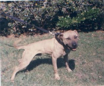 TANT'S GR CH YELLOW ROM ⋆ GrandChamp - American Pitbull